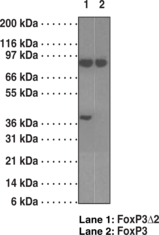 FoxP3Δ2 (exon 2 deleted) Specific Monoclonal Antibody (Clone 16J4G6) (azide free)