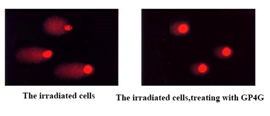 Cells treated with GP4G have very little DNA damage relative  to untreated cells.